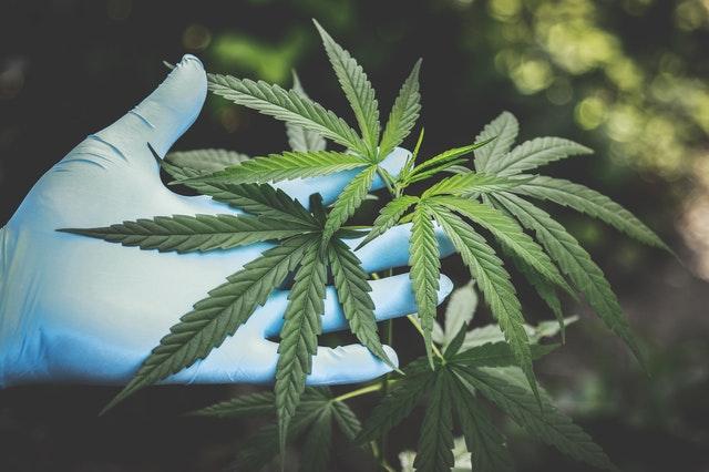Naturmedicin som cannabisolie bliver populært i fremtiden
